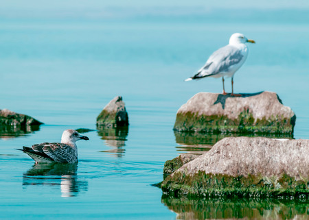 White and gray seagulls birds sitting on stone and floating on sea water. Beautiful natural horizontal background.