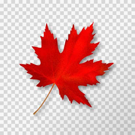Maple leaf isolated on transparent background. Bright red autumn realistic leaf. Vector illustration eps 10.  イラスト・ベクター素材