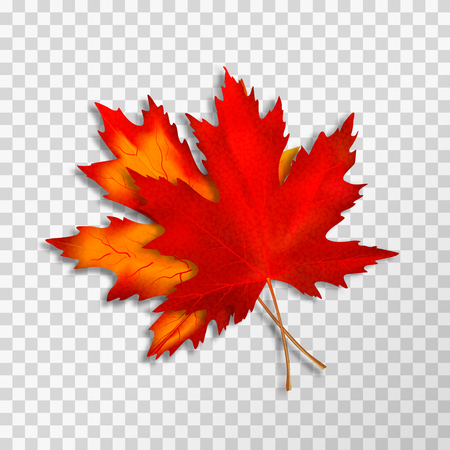 Two Maple leaves isolated on transparent background. Bright red autumn realistic leaves. Vector illustration eps 10. Ilustração