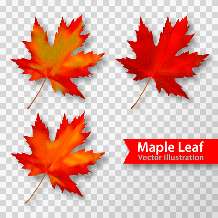 Two Maple set leaves isolated on transparent background. Bright red autumn realistic leaves. Vector illustration eps 10.