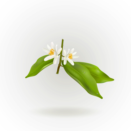 Blossoming citrus plant branch isolated on white background. Realistic Vector Illustration. Illustration