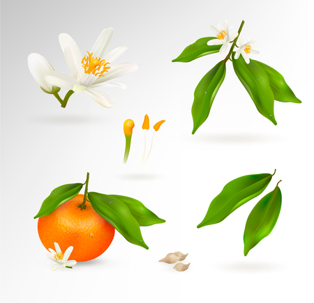 Set of elements of the structure of a mandarin or tangerine citrus plant. Flower, fruit, leaves, twig, stamens, pistil and bones. Realistic Vector Illustration.