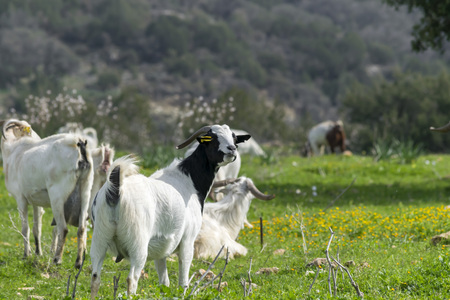 Herd of local white goats grazing in a meadow on a summer sunny day in the mountains. Mediterranean landscape Stock Photo