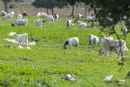 Herd of local goats grazing in a littered meadow in the mountains. Environmental pollution concept
