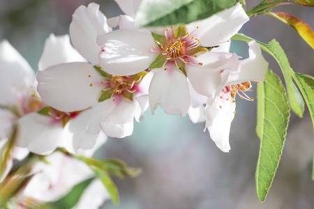 A branch of a beautifully blossoming almond tree at springtime. Close-up White petals with yellow stamens and leaves Banco de Imagens