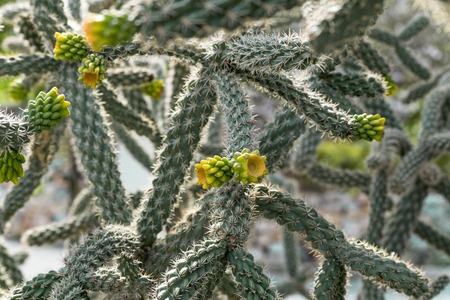 Cactus with young yellow shoots in the summer garden. Imagens