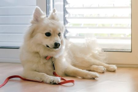 Cute dog breed Spitz lying on the floor near the door inside the house.