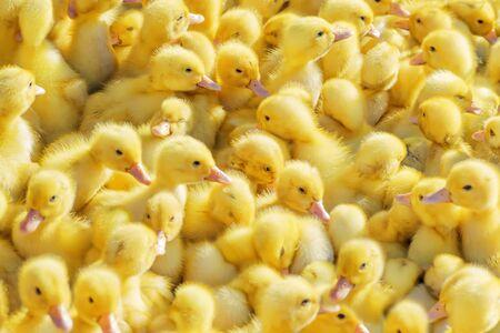 Żółte kaczątka sprzedawane na wiejskim rynku. Małe puszyste pisklęta.