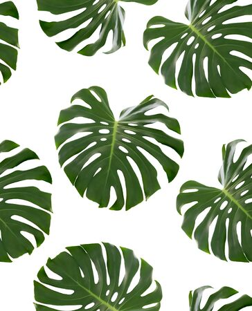 Seamless pattern with green leaves of a tropical plant Monstera deliciosa isolated on white background. Object for design. Фото со стока