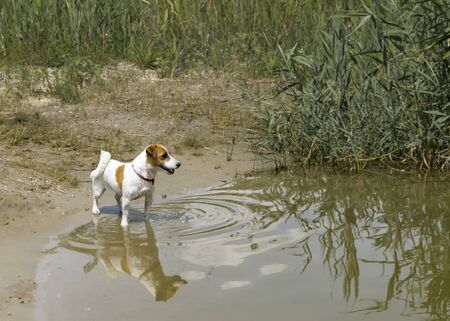 Little pedigree dog Jack Russell Terrier stands by the river ready to swim
