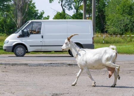 Domestic Dairy goat crossing the road. Running white goat