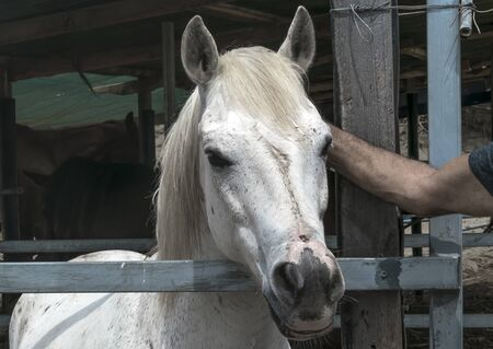 Close-up portrait of a white horse standing in a stall. . Mans hand stroking muzzle of a horse