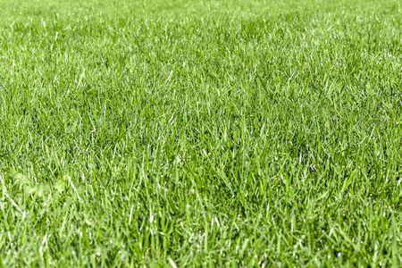 Getrimmter dicker grüner grasiger Rasenhintergrund. Ansicht von oben und von der Seite. Konzentrieren Sie sich auf die Mitte.