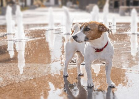 Thoroughbred dog Jack Russell Terrier in the city summer park on the background of the fountain.
