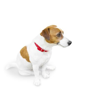 Close-up half-face portrait of cute small pet jack russel terrier sitting and looking at right side. Dog isolated on white background.