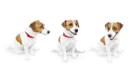 Close-up portrait of cute small pet jack russell terrier.. Three sitting looking different sides dogs isolated on white background.