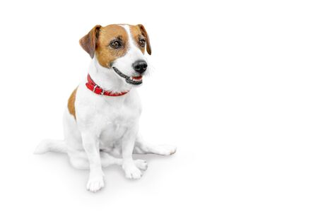 Close-up portrait of adorable happy smailing pet jack russel terrier sitting and looking at right side. Dog isolated on white background with copy space.