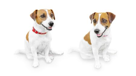 Close-up portrait of cute small pet jack russell terrier.. Two sitting smiling dogs isolated on white background. Фото со стока