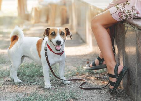 Small cute dog Jack Russell Terrier standing next to the legs of a girl outdoor Фото со стока