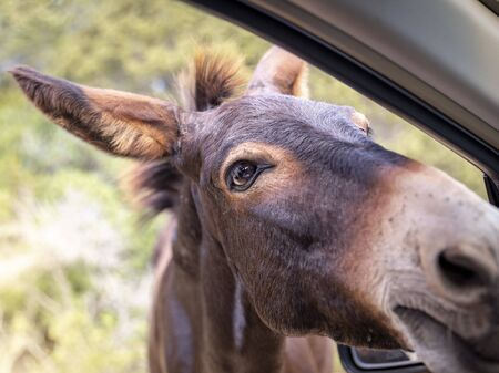 Wild donkey looking into a car. Close-up Muzzle of an animal. Traveling in Northern Cyprus.