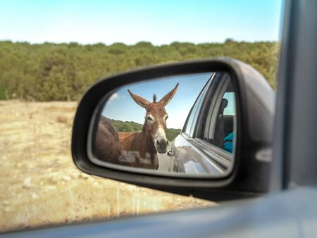 Wild donkey reflected in car mirror. Animal standing on the road. North Cyprus trip. Фото со стока