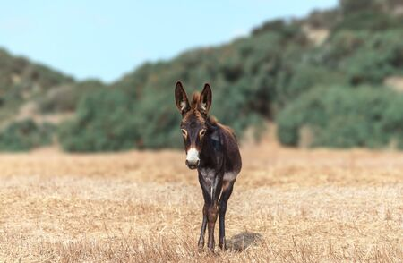 A portrait of a small baby donkey grazing on the field on a background of mountains. The curious animal is looking into camera. North Cyprus trip. Фото со стока