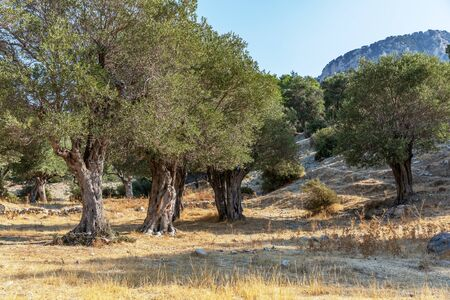 Old olive grove in the mountains in Cyprus. Olive trees on a sunny day