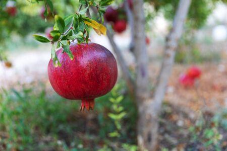 One Large ripe pomegranate fruit hanging on a tree in summer garden. Reklamní fotografie