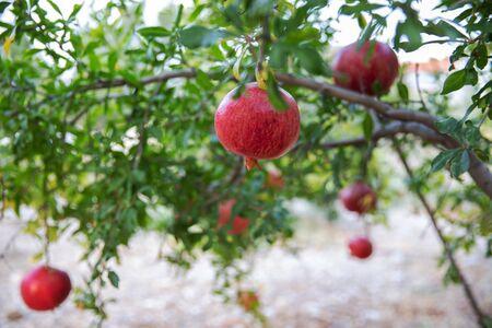 Large ripe pomegranate fruits hanging on a tree in summer garden. Reklamní fotografie