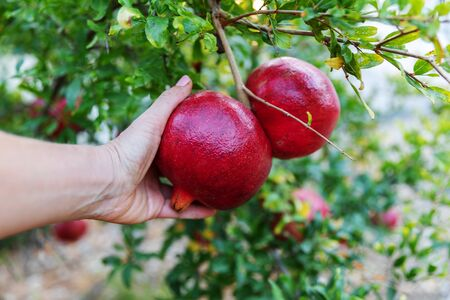 Persons hand holding big red ripe pomegranate fruit hanging on a tree in garden.