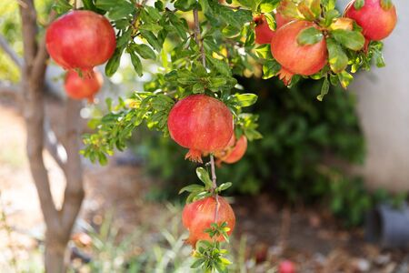 Many ripe pomegranate fruits hanging on a tree in summer garden