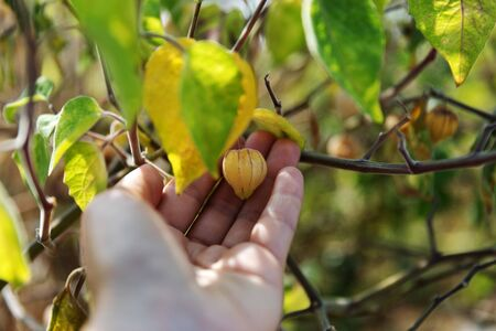 Chinese Lanterns, Physalis alkekengi, Franchetii, bladder cherry, Chinese lantern, Japanese-lantern, strawberry groundcherry or winter cherry. Berries on persons palm in summer garden