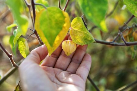 Chinese Lanterns, Physalis alkekengi, Franchetii, bladder cherry, Chinese lantern, Japanese-lantern, strawberry groundcherry or winter cherry Berry on persons palm in summer garden
