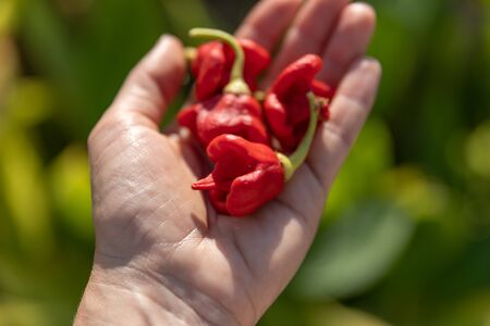 Hot Chilli Peppers Carolina Reaper on persons palm in summer garden