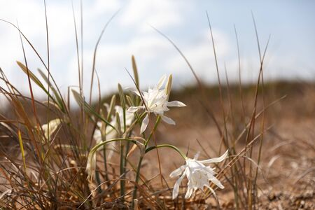 Rare flower Pancratium maritimum or sea daffodil growing on the sandy Mediterranean seashore on blue sky background. Bible plant listed in the Red Book.