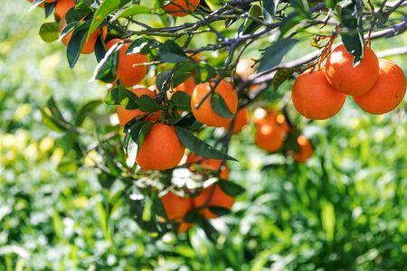 Closeup Ripe Orange fruits hanging on the branches. Orange tree growing in the garden. Summer garden background.