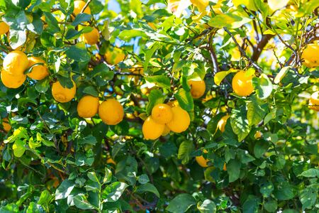 Closeup yellow lemons fruits hanging on the branches. Lemon tree growing in the garden. Bright Summer garden background. Banque d'images