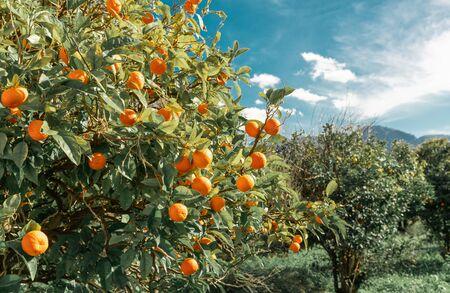 Orange fruits hanging on the branches. Orange tree growing in the garden. Summer garden background