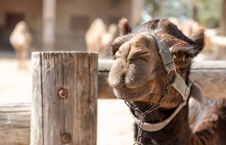 Close-up portrait of muzzle of camel in the local famous park on the island of Cyprus. Mazotos Camel Park. Banque d'images