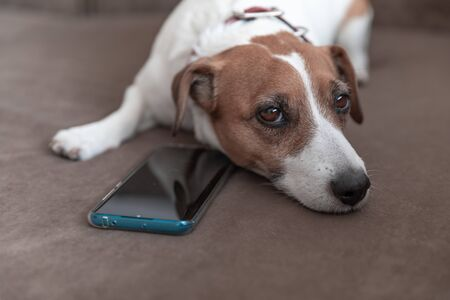 A small cute dog Jack Russell Terrier lying with a smartphone on a sofa pillow and looking into camera. Dog waiting for a call