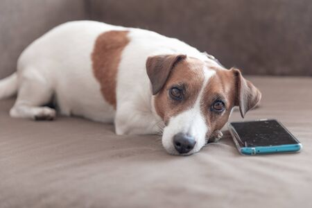 A small cute dog Jack Russell Terrier lying with a smartphone on a sofa and looking into camera. Dog waiting for a call