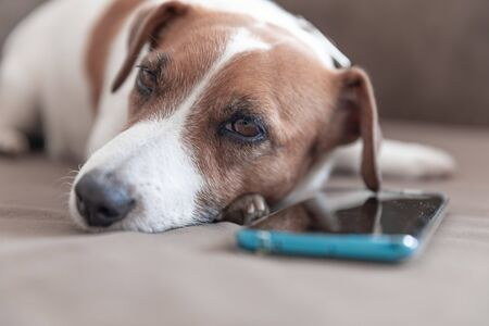 Close-up portrait of small cute dog Jack Russell Terrier lying with a smartphone on a sofa pillow and looking into camera. Dog waiting for a call Banque d'images