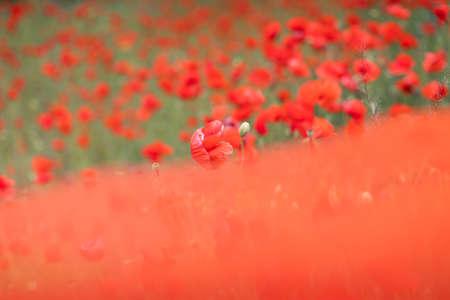 Beautiful blooming poppy field blurred background. Stok Fotoğraf