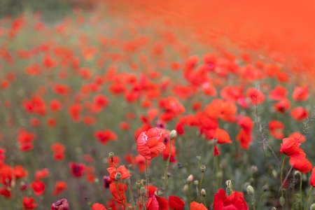 Beautiful blooming poppy field blurred background. Banque d'images