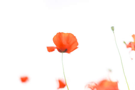 Blurred Beautiful blooming red poppy field background. Landscape with wildflowers Stok Fotoğraf