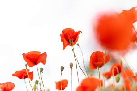 Beautiful blooming poppy field blurred background. Foto de archivo