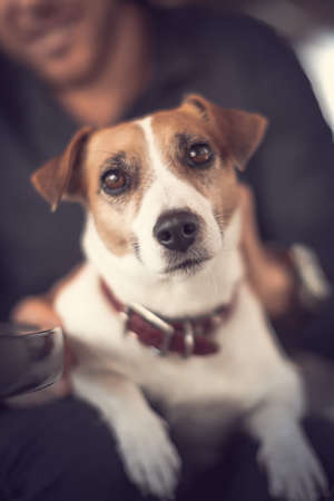 Close-up portrait of young cute purebred dog jack russell terrier sitting on the knees of a smiling person and looking into camera