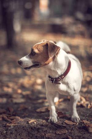 Portrait profile purebred dog jack russell terrier autumn city park.