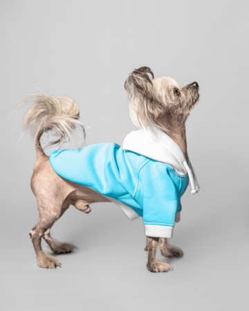 Closeup front portrait of cute Chinese Crested dog. The pet wear blue colour clothes.