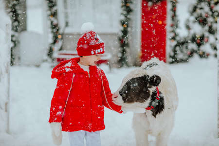 Boy posing with small bull at the winter ranch with Christmas decor. Snowing.